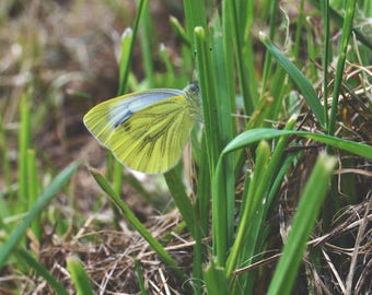 Green Veined White Butterfly   Nature Print   Photo Print   Nature Photography   insect photography   butterfly photography   Butterfly
