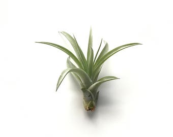 Tillandsia Capita Peach Air Plant