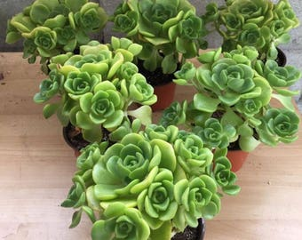 "6 "" Tall Aeonium Lily Pads"
