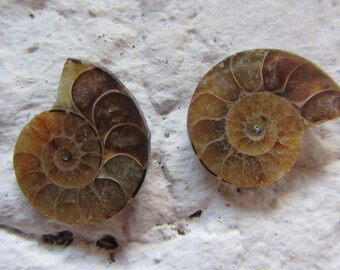 Ammonite. 2 Pcs. S0582
