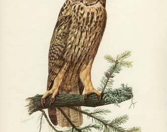 Vintage lithograph of the long-eared owl from 1953