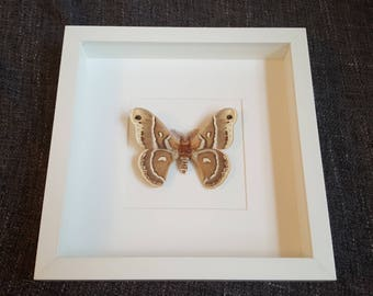 Showcase moth