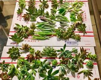 50 succulent cuttings to use for centerpieces, projects, eyc.