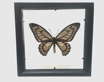 Beautiful Ornithoptera Croesus Lydius Butterfly/Insect/Taxidermy/Lepidoptera