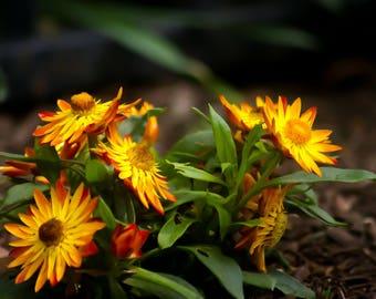 Mini Sun Flowers
