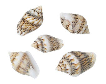 lot 10 seashells shaped spiral embellishment 10x5mm