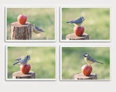 All pictures - birds and Apple - photos nature birds - chickadees - Nuthatch - birds apple pictures