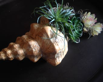 Conch shell with succulents