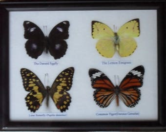 REAL 4 BEAUTIFUL Butterfly Taxidermy Framed     BTF04Q