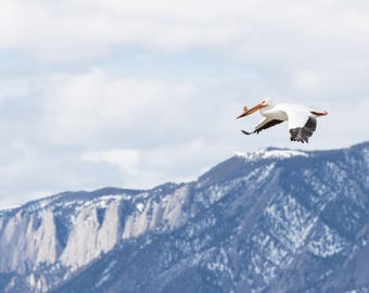 Wildlife Photography. Pelican in flight over Wyoming mountains. Color print.