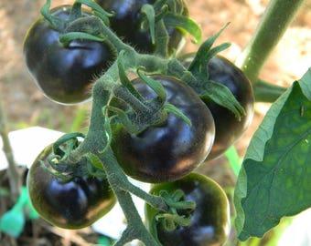 Non Gmo Rare Indigo Rose Tomato Seeds QTY. 25 Open Pollinated Heirloom