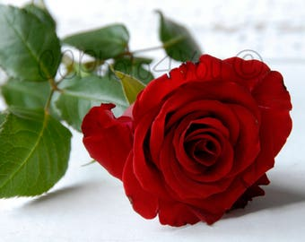 Lying red rose