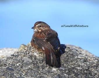 Spotted Towhee - Digital Image