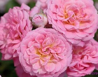 Sweet Drift® Rose Bush 3 Gallon