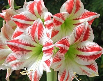 Amaryllis Ambiance - easy, fast & gorgeous. Ready-to-plant or gift potted bulb.