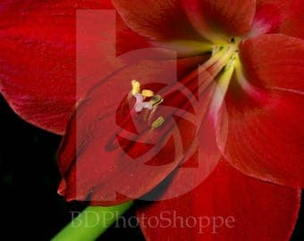 Red Amaryllis | Flower Photo Art | Nature Lover Gift | Fine Art Photography | Personalization | BDPhotoShoppe | Home Office Decor