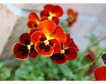 Pansy- Alpenglow- 50 Seeds
