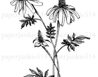Botanical Printable Clip Art  - Coneflower - CCC - Digital Download - JPG - PNG Image - Illustration