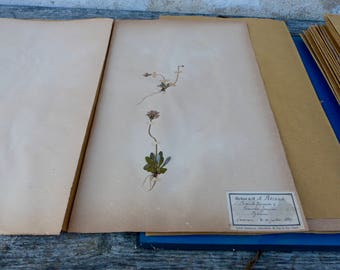 Antique-1887-1889-French-herbarium Primevere farineuse