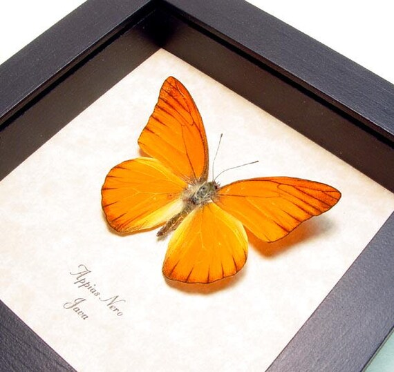 Appias Nero Orange Crush Real Framed Butterfly 279