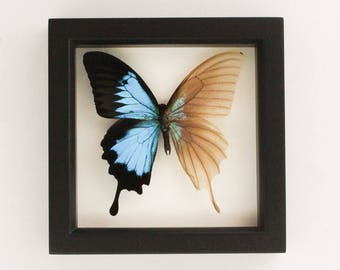Skeleton Butterfly Descaled Papilio Ulysses Butterfly