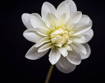 Flower Photograph, White Dahlia, Nature Print, Botanical Art Prints, Black and White, Pale Yellow, Floral Home Decor, Nursery Photography