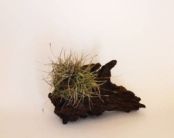 Air Plant Vase; Candle Holder;  Unique; One Only;Walnut Root ; Minimalist Gift; Gifts from Nature;Small Space Decor;Free Ground Shipping USA