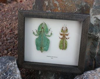 Real Framed Leaf mimic female and male pair insect from Java