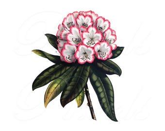RHODODENDRON Image Transfer, Instant Download, Large Digital Image, pink flower vintage botanical illustration 038