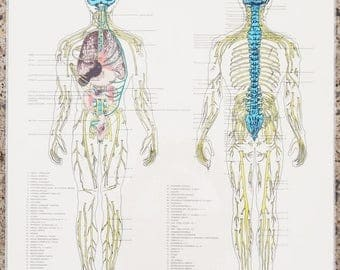 ON SALE Vintage, The Nerves & Organs, Autonomic Nervous System Chart / Anatomy Medical Art Poster / School Chart  Human Body Map