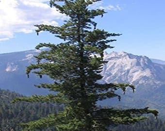 100 Sugar Pine Tree Seeds, Pinus Lambertiana