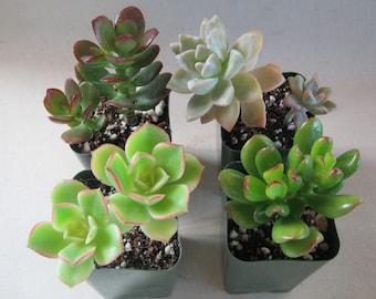 8 Succulent Plants Live Potted Collection