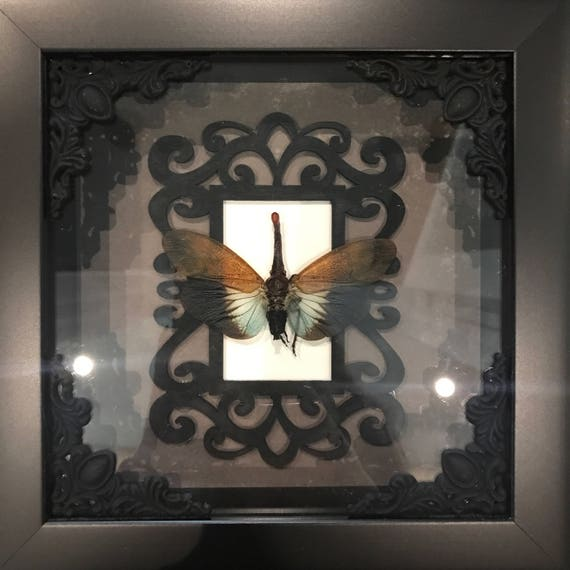 Taxidermy red nosed lantern fly display! Real!