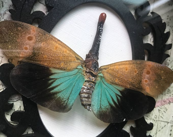 Must see red nosed lantern fly taxidermy display!