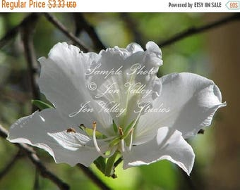 12 seeds White Orchid Tropical Tree Indoor Big Fragrant Blooms Small Compact Houseplant zones 9+ Standard gardening Bauhinia alba