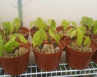 1 Organic Forestero Theobroma Cacao Seedling Plant