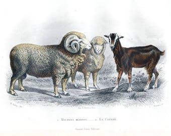19th Century Hand colored Goat wild domestic cattle ,decorative art,wall art,home decor,natural history steel engraving
