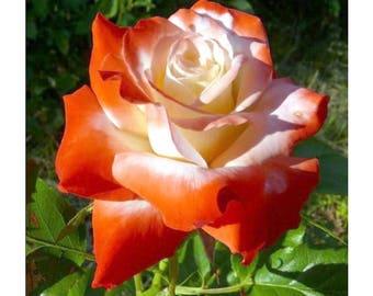 Orange white roses seeds,meteor shower roses seeds, 534 , rose, Colorful rose,flower seeds, roses from seeds, seeds for roses, gardening