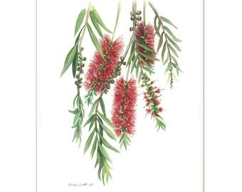 Australian Bottlebrush Watercolour painting - Limited edition print (100 only)