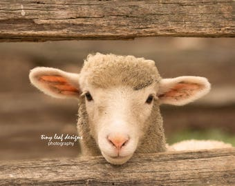 Sheep Original Photography 5x7 8x10 11x14 print, 8x10 Wood, 8x10 Standout