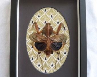 Feuille-morte Mantis