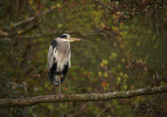Grey Heron [Photographic Print]
