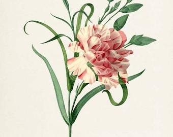 Carnation Flower Art Print, Clove pink Botanical Art Print, Flower Wall Art, Flower Print, Floral Print, Redoute,pink, Dianthus caryophyllus