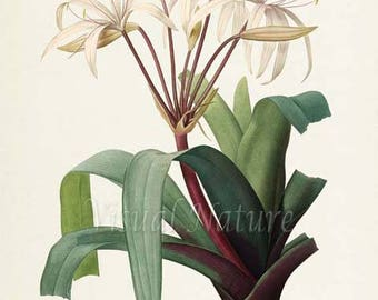 South American Swamp Lily Flower Art Print, Botanical Art Print, Flower Wall Art, Flower Print, Floral, Redoute, white, Crinum erubescens