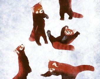 Five Red Pandas