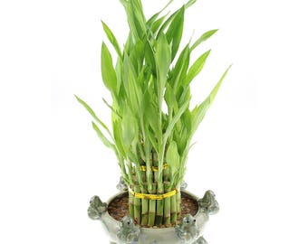 Lucky Bamboo 3 Tier Tower U0026 6 Frog Pot   Good Luck Gifts, Indoor Plant