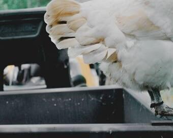 Get Your Yolks From Local Folks Chicken Sticker
