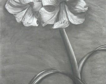 Amaryllis white 2 charcoal/eraser drawing