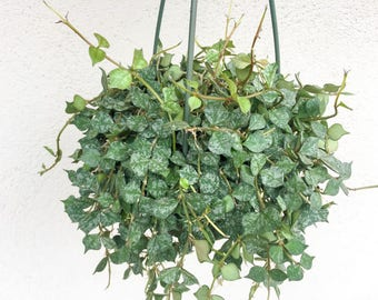 LARGER Size Hoya Curtisii 6 Inch Hanging Basket Variegated Wax Plant House Plant Hanging Vine Plant Hoya Indoor Plant Gift House RARE Hoya