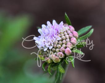 Flower Photography Print, Budding Purple Flower, Bud, Macro Flower, Fine art